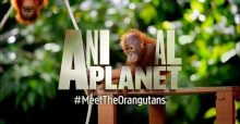 Meet The Orangutans Ap