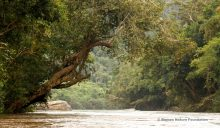 Primary Forest Along Busang River