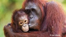 Tapanuli Orangutan C Action Network