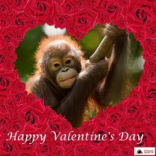 Orangutan Appeal Uk  Happy Valentines Day