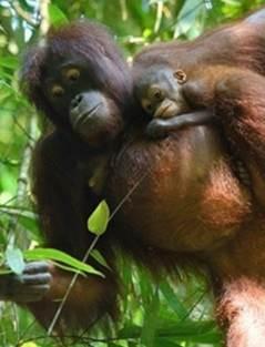 Orangutan information | Orangutan Appeal