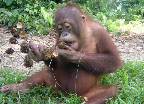 Naru enjoying a rambutan feast