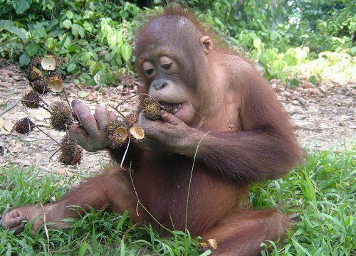 Naru enjoying a rambutan feast