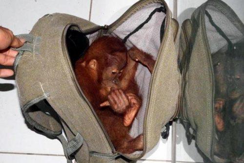 Ape Infant