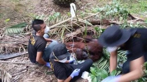 Sabah Orangutan Hurt 1607