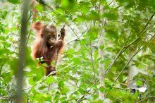 Orangutan Sabangau Low 039 1