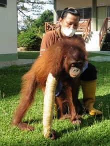 One of our staff treating an injured orangutan