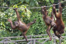 Ropes . . . Bidu-Bidu enjoys new life