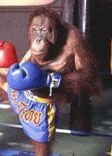 Boxing Orangutan