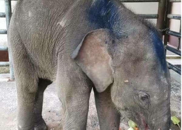 Baby elephant Lahad website