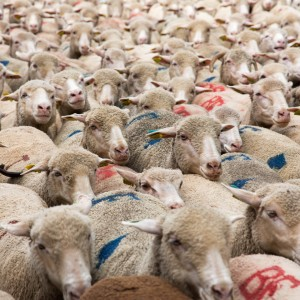 THE TRANSHUMANCE 圣雷米牧羊节
