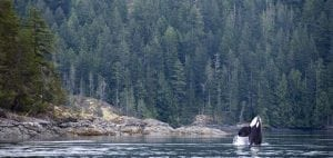 british-columbia-canada-rivers-tavish-campbell-salmon