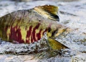 pacific-salmon-tavish-campbell-rivers-canada-photography