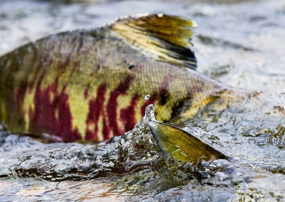 pacific-salmon-tavish-campbell-rivers-canada-photography