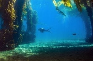 swimming-through-kelp-forests-california