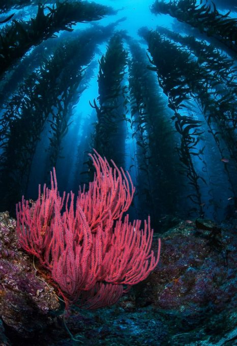 Gorgonian-and-Kelp-Santa-Barbara-Island
