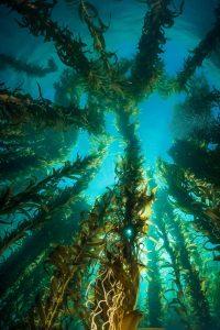 Majestic-Kelp-Forest-Catalina-Island