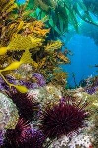 Urchins-taking-reef-preventing-kelp-growing-california