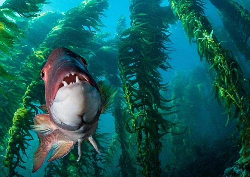 Sheephead-Wrass-Kelp-Forest-Santa-Barbara-Island