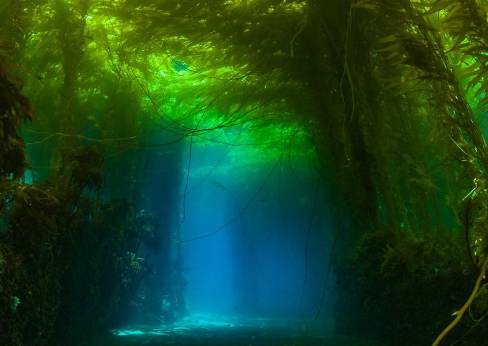 Kelp-Canopy-Channels-california-underwater-photography