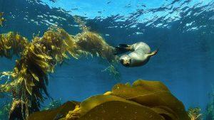 Sea-Lion-Pup-playing-in-Kelp-Santa-Barbara-Island-california