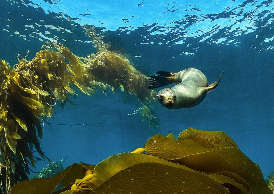 Sea-Lion-Pup-playing-in-Kelp-Santa-Barbara-Island-california