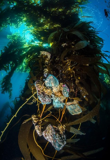 california-Kelp-attached-to-Rocks-Catalina-Island