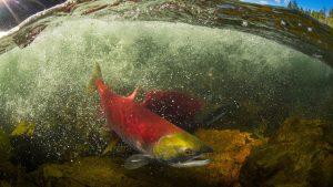 wild-salmon-pacific-british-columbia-tavish-campbell