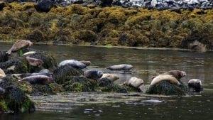 seals-outer-hebrides-sail-britain-scotland