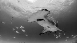 hammerhead-shark-bahamas