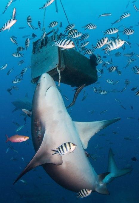 A bull shark investigates a bait box