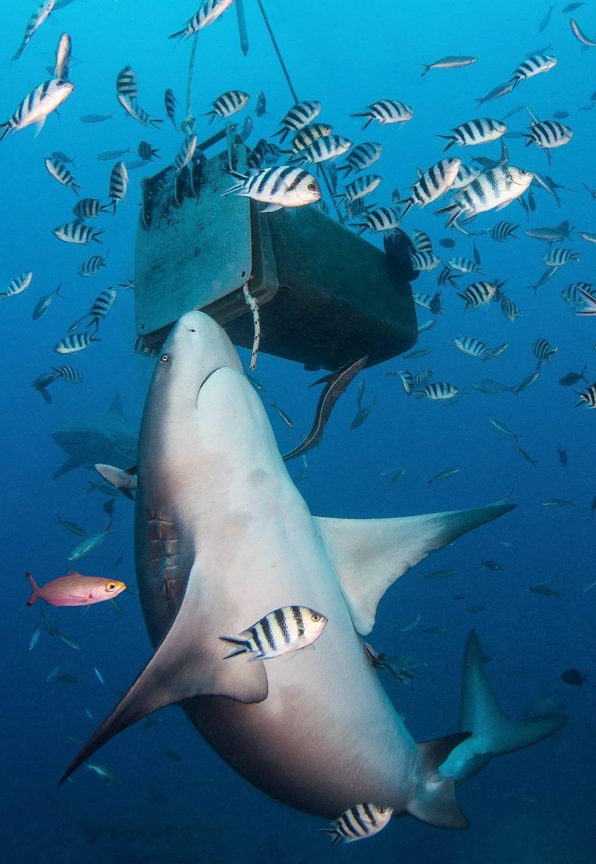 Shark baiting: The debate - Oceanographic - Oceanographic