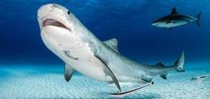 tiger-shark-bahamas-underwater-photography