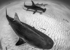 tiger-shark-great-hammerhead-shark-Grand-Bahama
