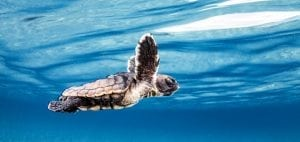 loggerhead-sea-turtle-hatchling-underwater-photography