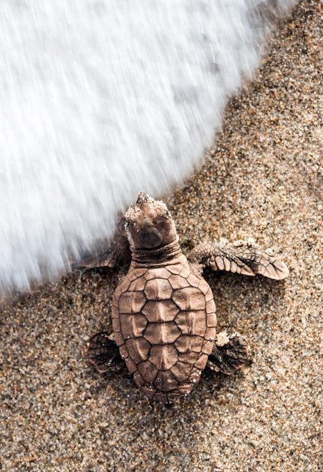 loggerhead-sea-turtle-hatchling-beach-Gulf-Stream-Florida