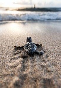 loggerhead-sea-turtle-hatchling-Ocean-Ridge-Florida