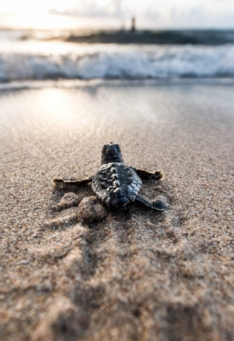 loggerhead-sea-turtle-hatchling-Ocean-Ridge-Florida