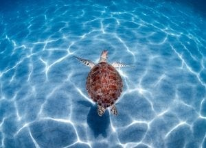 green-sea-turtle-Boca-Raton-Florida