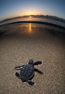 green-sea-turtle-hatchling-Gulf-Stream-Florida