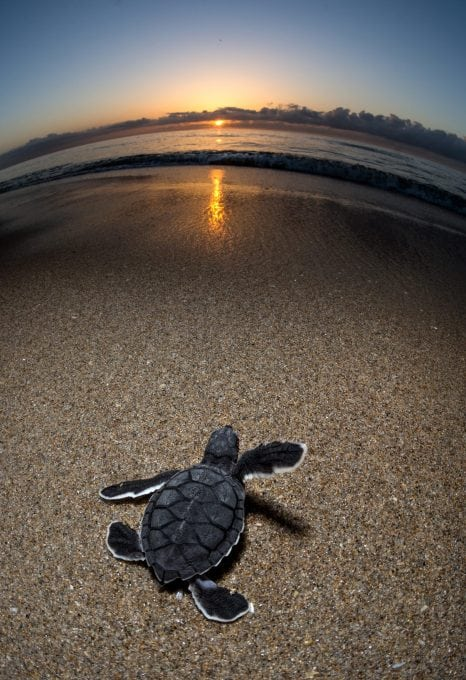 green-sea-turtle-hatchling-Gulf-Stream-Florida