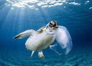 green-sea-turtle-eating-jellyfish-Boca-Raton-Florida