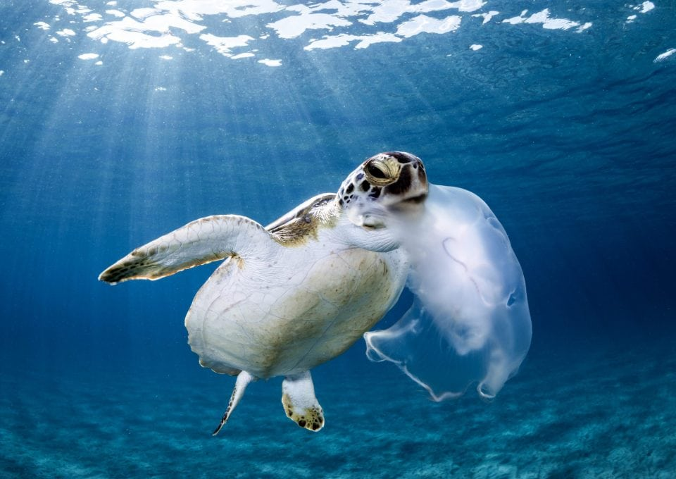 green-sea-turtle-eating-jellyfish-Boca-Raton-Florida