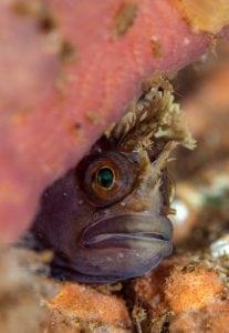 Tompot blennie, Marine life, Scotland, expedition diving, St Kilda, diving, divers, Outer Hebrides, scuba