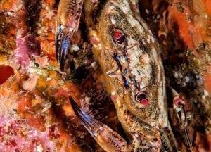 Crab, Scotland
