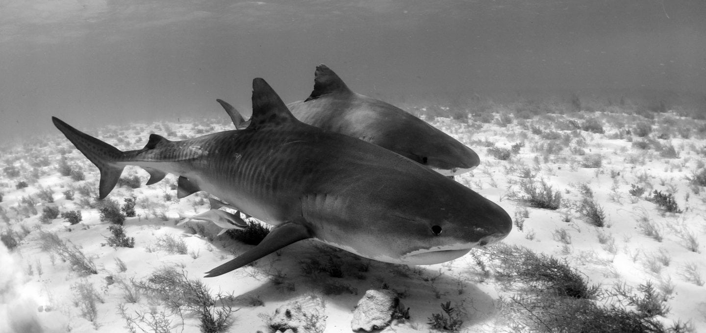 tiger-sharks-shark-sanctuary-bimini