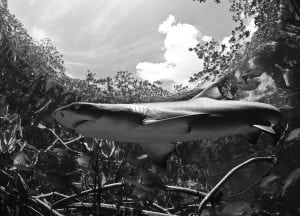 shark-mangroves-marine-life-sanctuary-bahamas