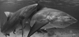bull-sharks-shark-sanctuary-bahamas