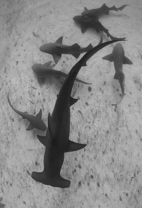 Hammerhead-sharks-bahamas-shark-sanctuary