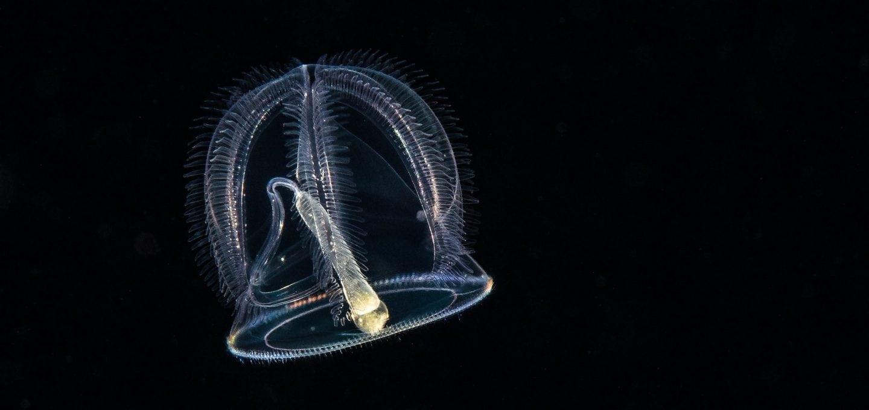 Planktonic jelly, blackwater